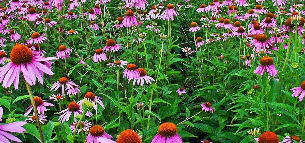 Plantas medicinales para la prevención de resfriados y gripes